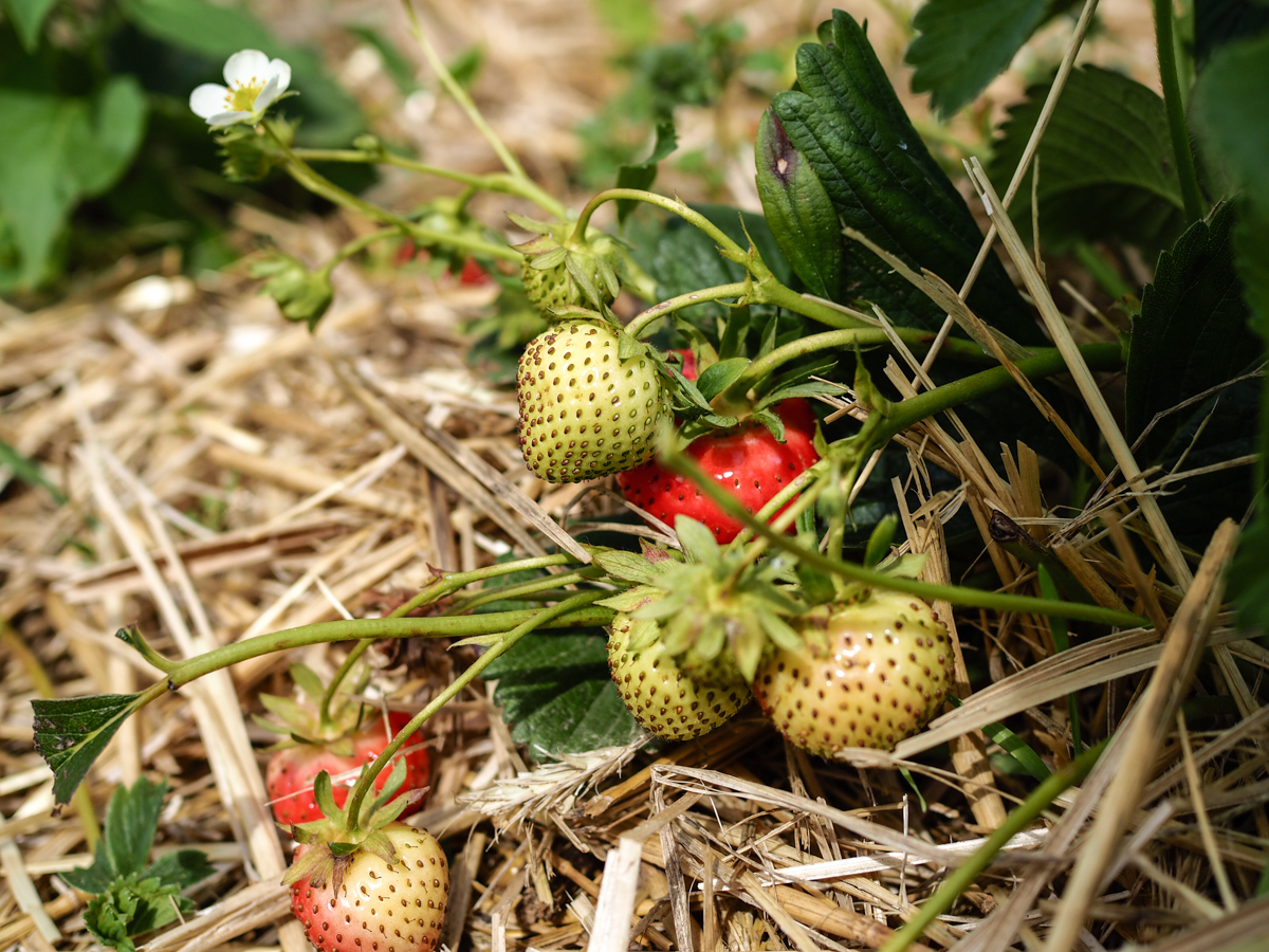 strawberry picking Germany